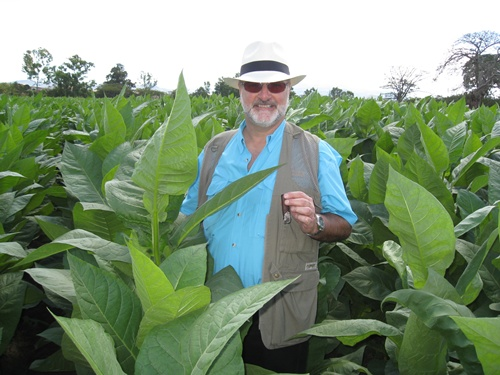 tobacco grown shoulder high